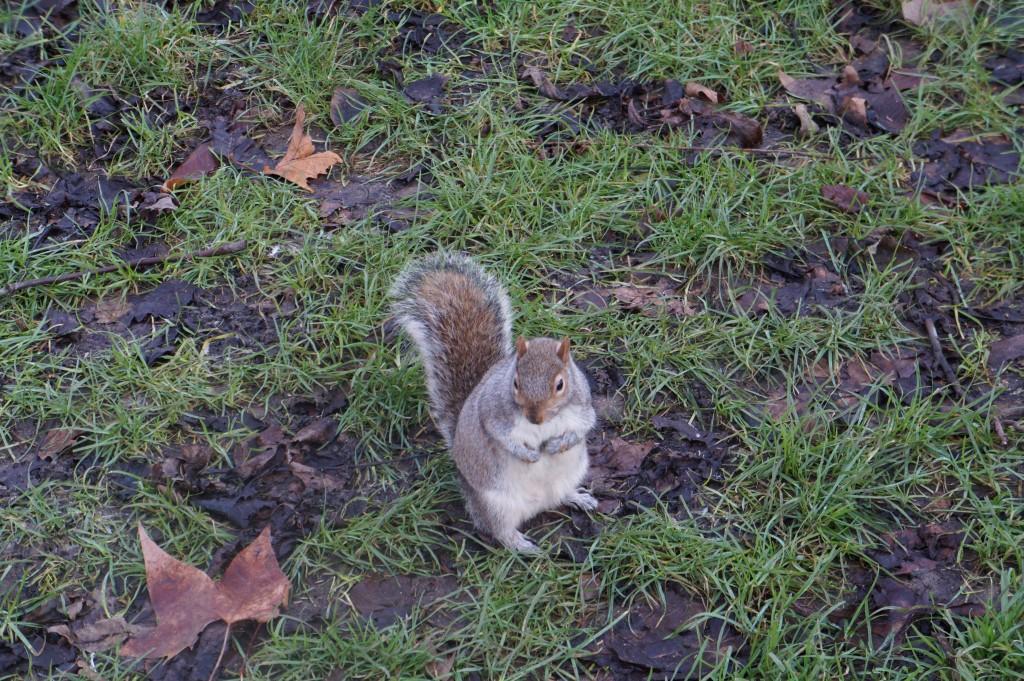 Un écureuil à Hyde Park